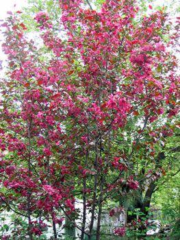 Красивые цветущие деревья: фото и названия - m 51
